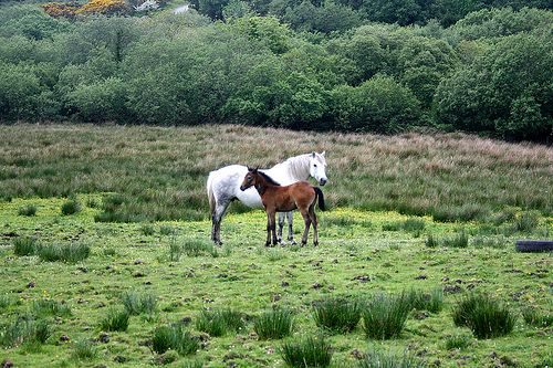Two Connemara Ponies in a field in Ireland